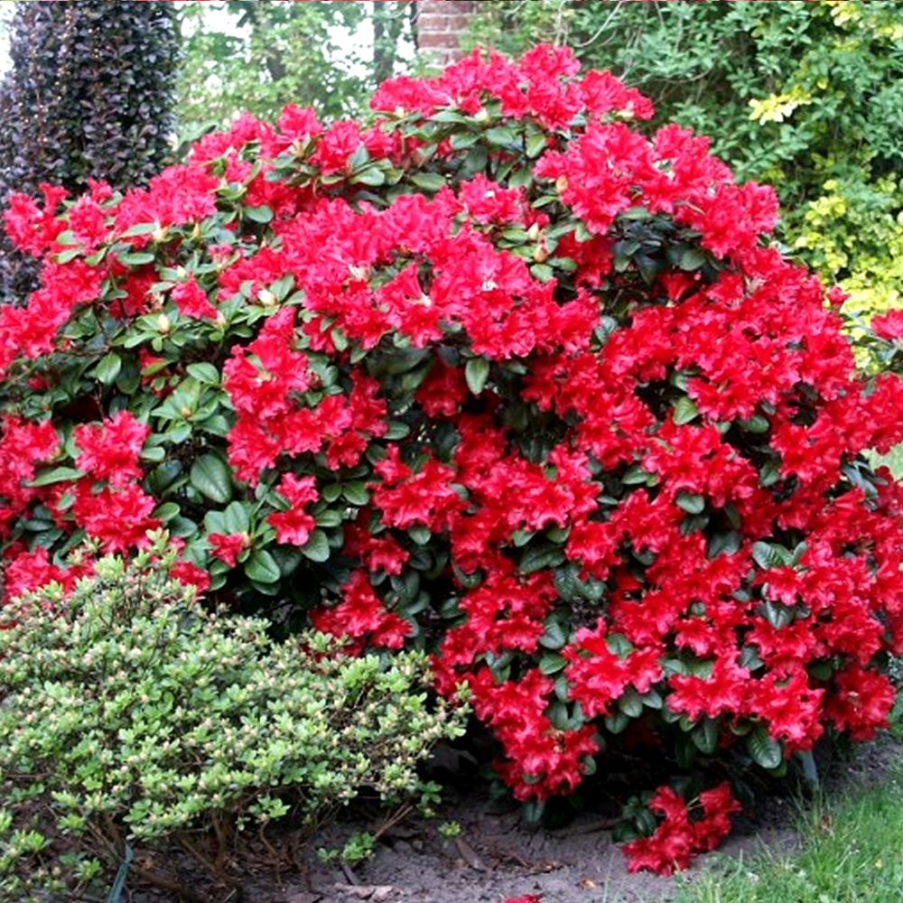 1 rhododendron 39 scarlet wonder 39 evergreen bushy shrub for Hardy flowering trees
