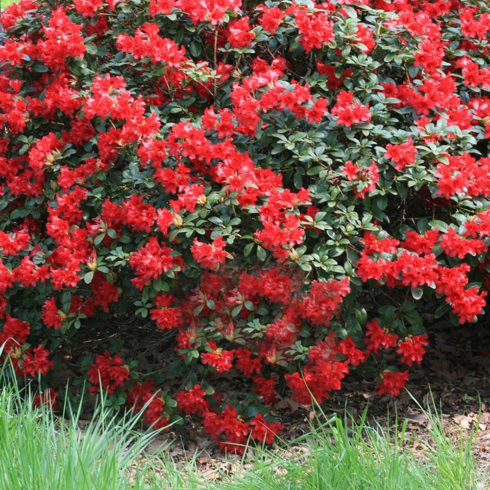 3 Rhododendron Scarlet Wonder Evergreen Bushy Shrub