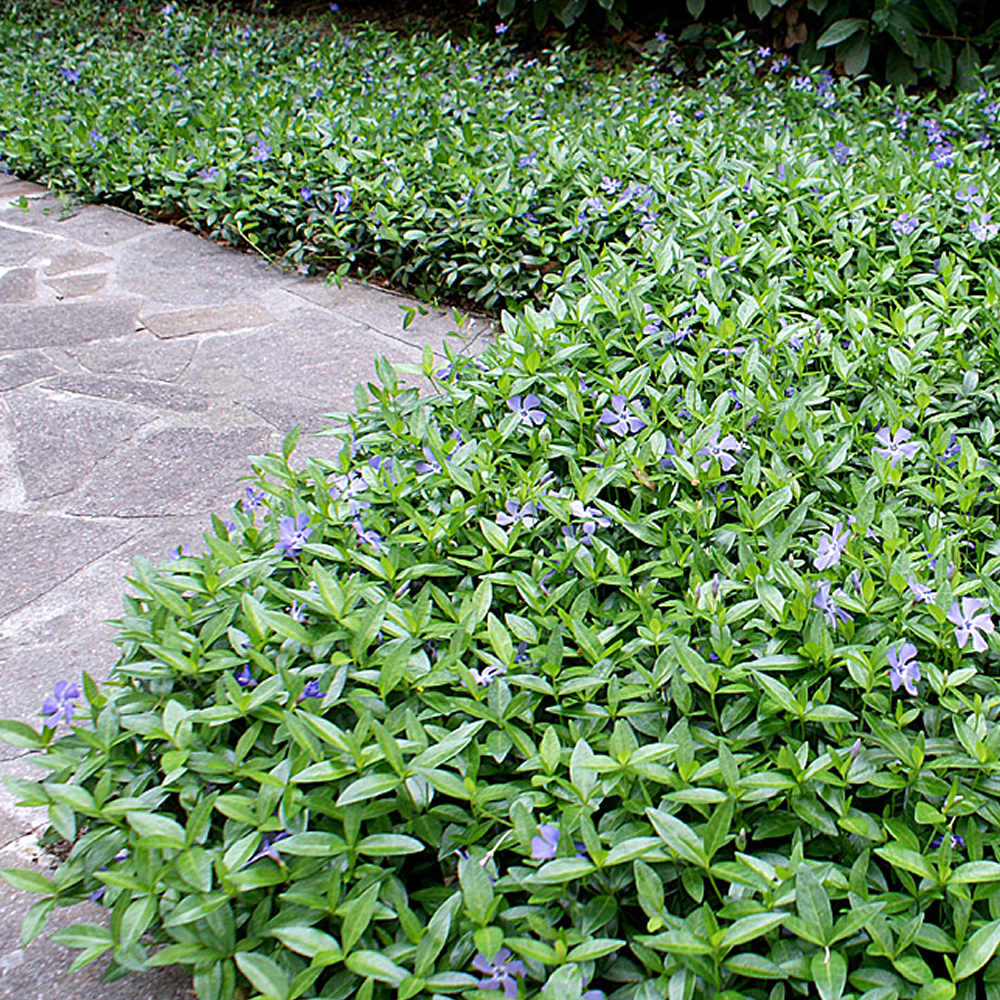 1 x vinca minor small blue periwinkle evergreen shrub. Black Bedroom Furniture Sets. Home Design Ideas