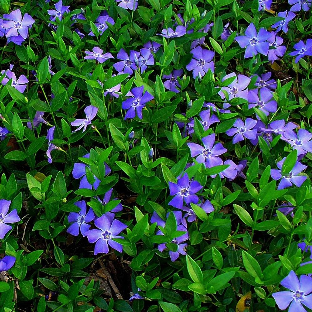 3 X Vinca Minor Small Blue Periwinkle Evergreen Shrub Hardy Garden