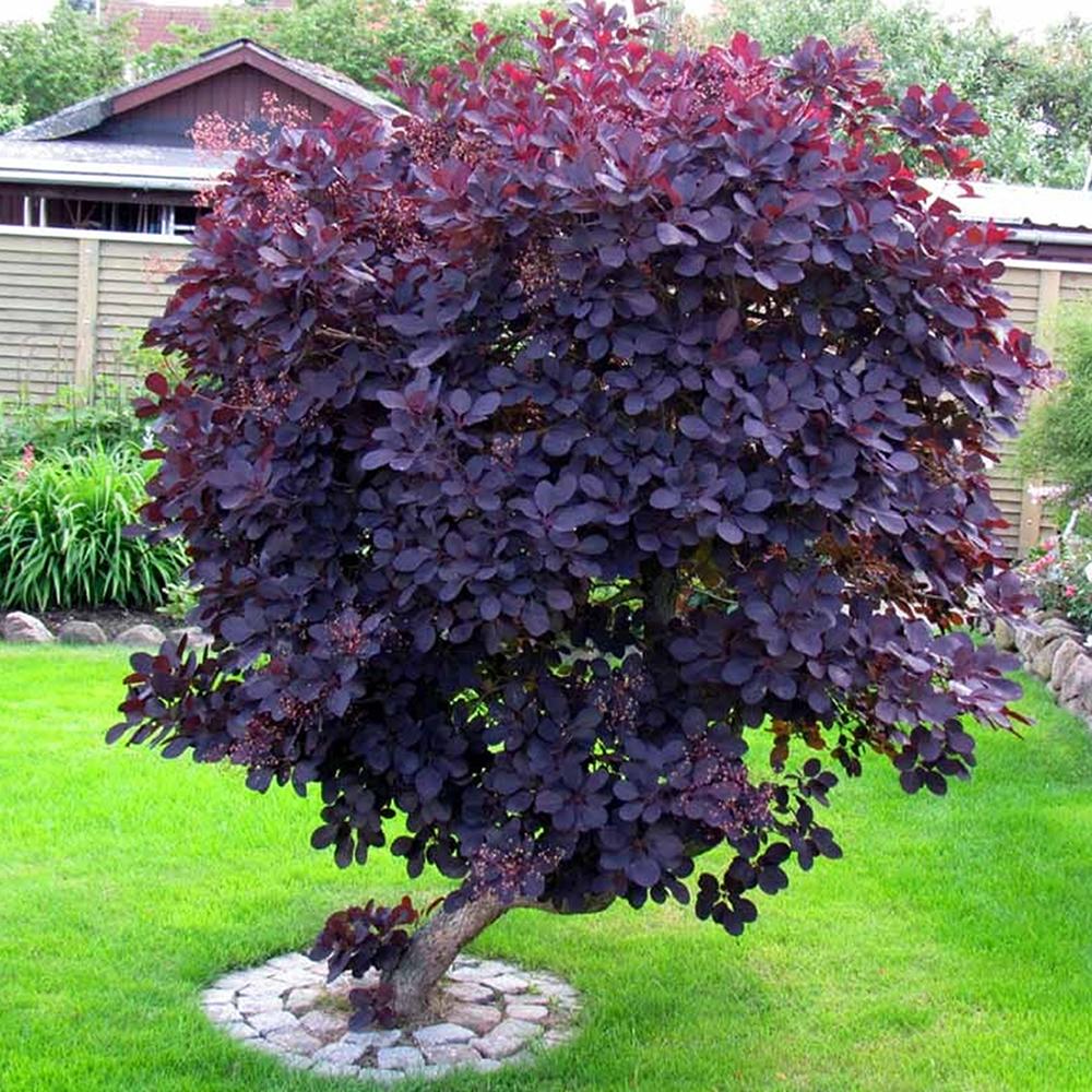 1 cotinus coggygria 39 royal purple 39 smoke bush deciduous for Garden deciduous trees