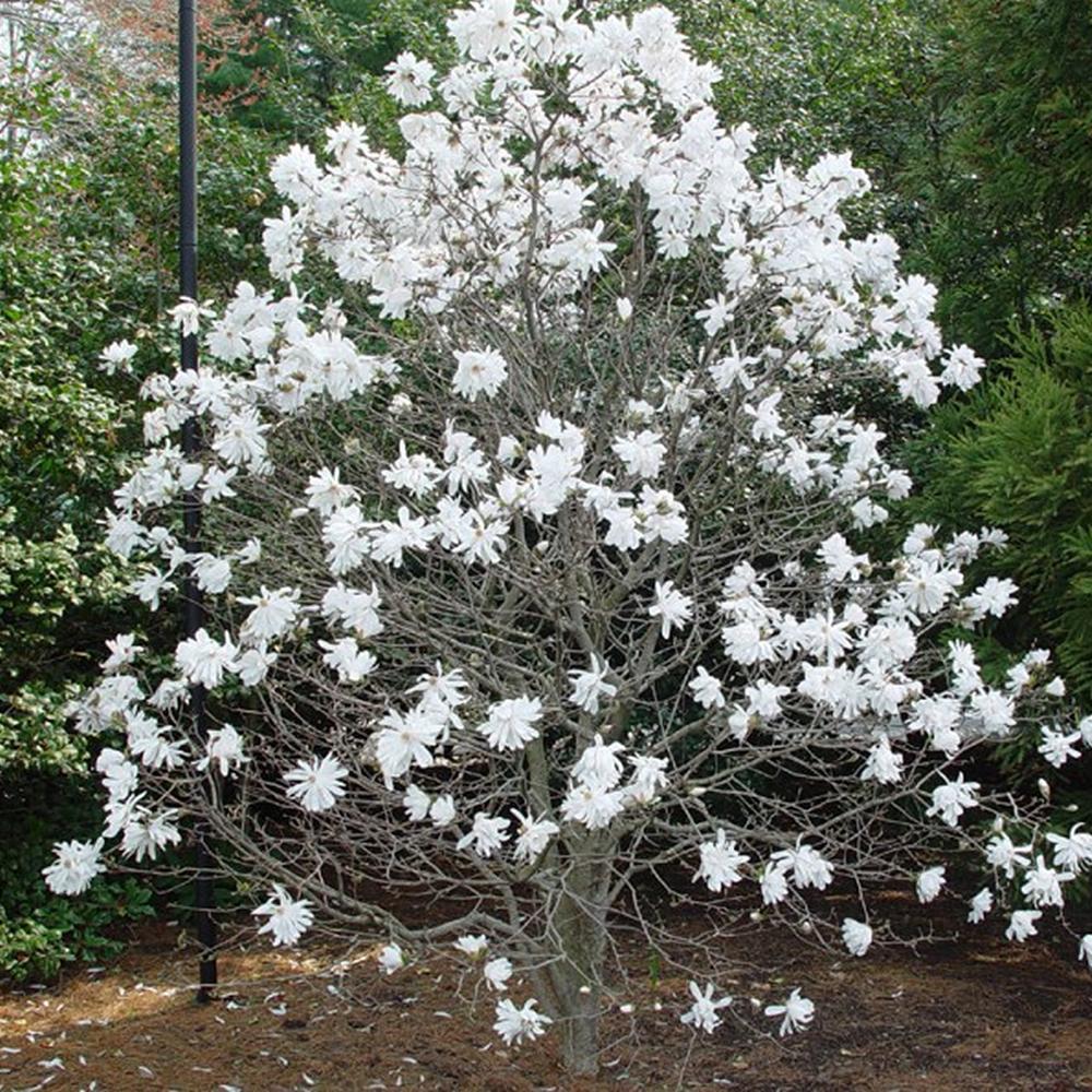 3 X Magnolia Stellata Starry Magnolia Deciduous Shrub