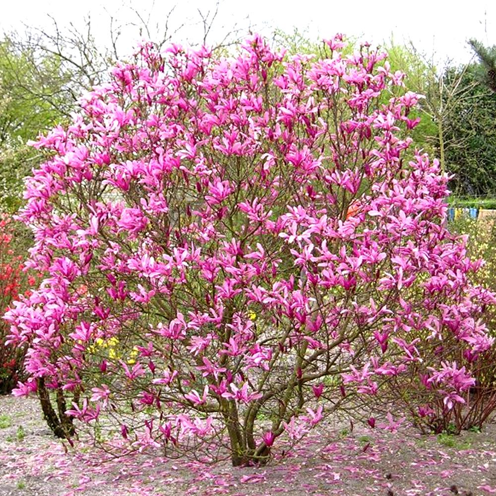 3 X Magnolia Susan Deciduous Bushy Shrub Hardy Garden