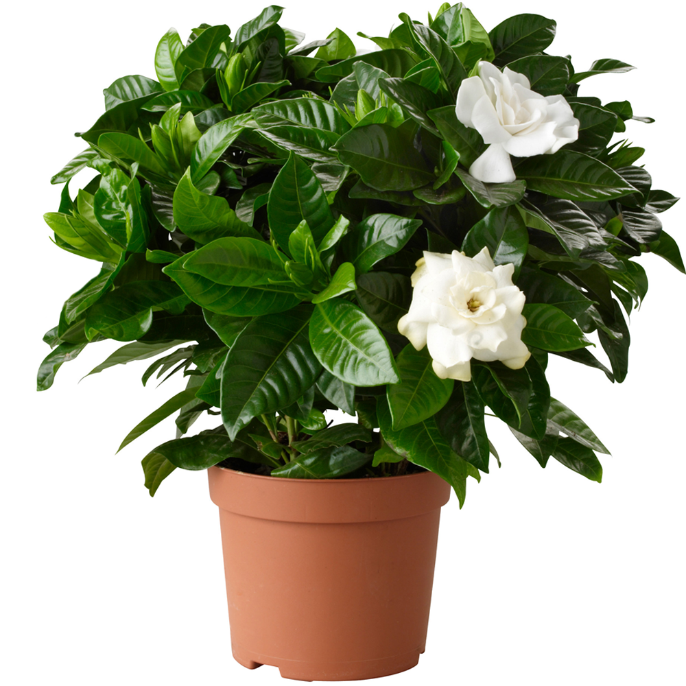 1 x gardenia jasminoides cape jasmine healthy ornamental indoor 1 x gardenia jasminoides cape jasmine healthy ornamental indoor plant in pot izmirmasajfo