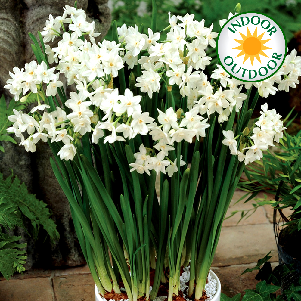 Narcissus Paperwhite Indoor Outdoor Daffodil Spring Flowering Bulbs ...