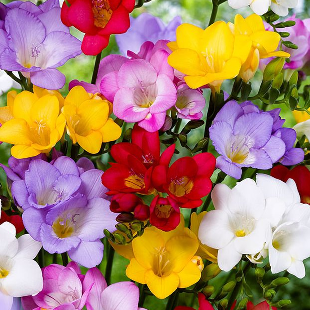Freesia Single Mixed Colours Spring Summer Flowering Garden Bulbs