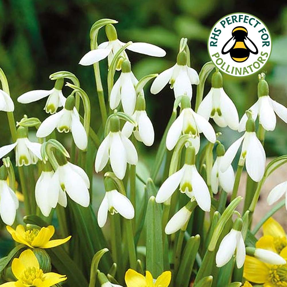 Galanthus Nivalis Common Snowdrop White Flowering Spring Garden