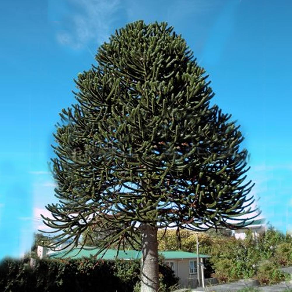 25 30cm Araucaria Araucana Monkey Puzzle Tree In A 13cm