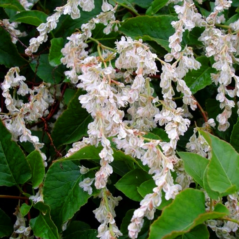 3 X FALLOPIA BALDSCHUANICA DECIDUOUS WHITE SHRUB RUSSIAN VINE PLANT IN POT