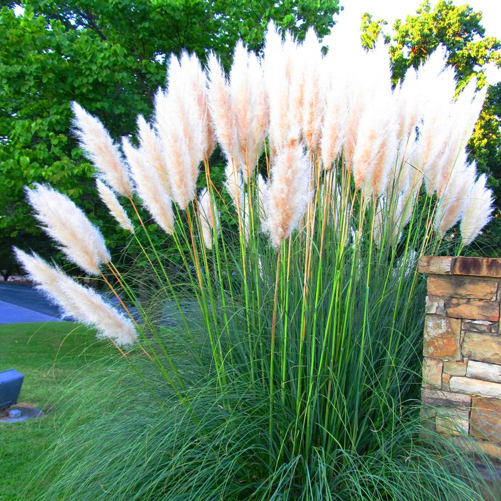 3 x white alba cortaderia selloana pampas grass pumila tall feathery decorative ebay. Black Bedroom Furniture Sets. Home Design Ideas