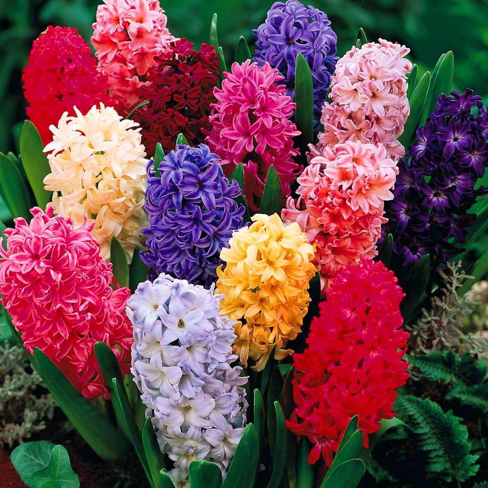 Hyacinth mixed colours indoor outdoor spring flowering orientalis bulbs plants ebay - Planting hyacinths indoors ...