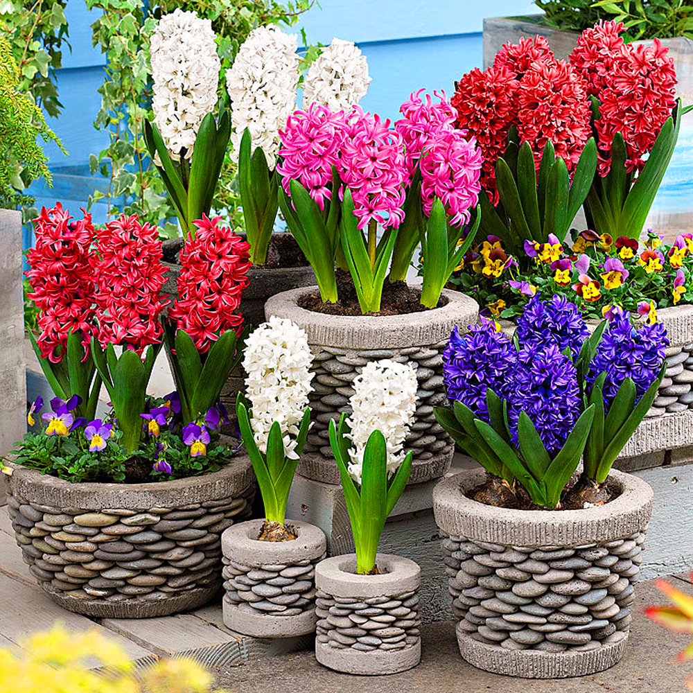 Hyacinth Mixed Colours Indoor Outdoor Spring Flowering Orientalis