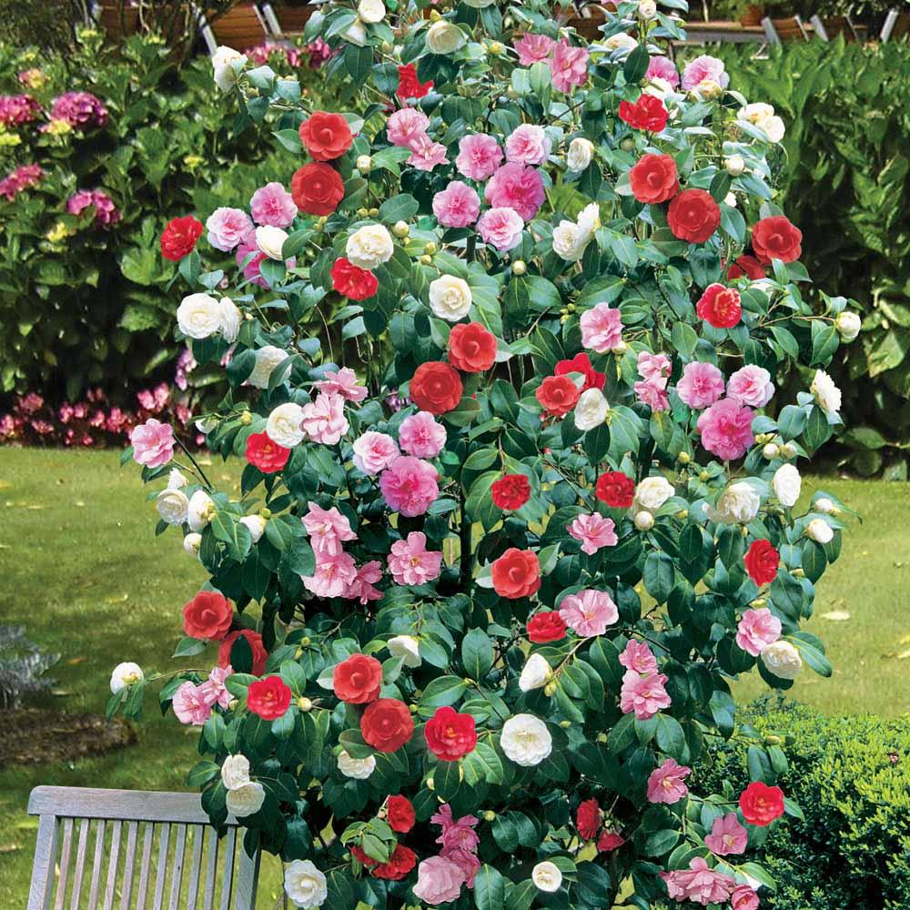 1 x camellia tricolour red pink white hardy bushy - Camelia planta ...