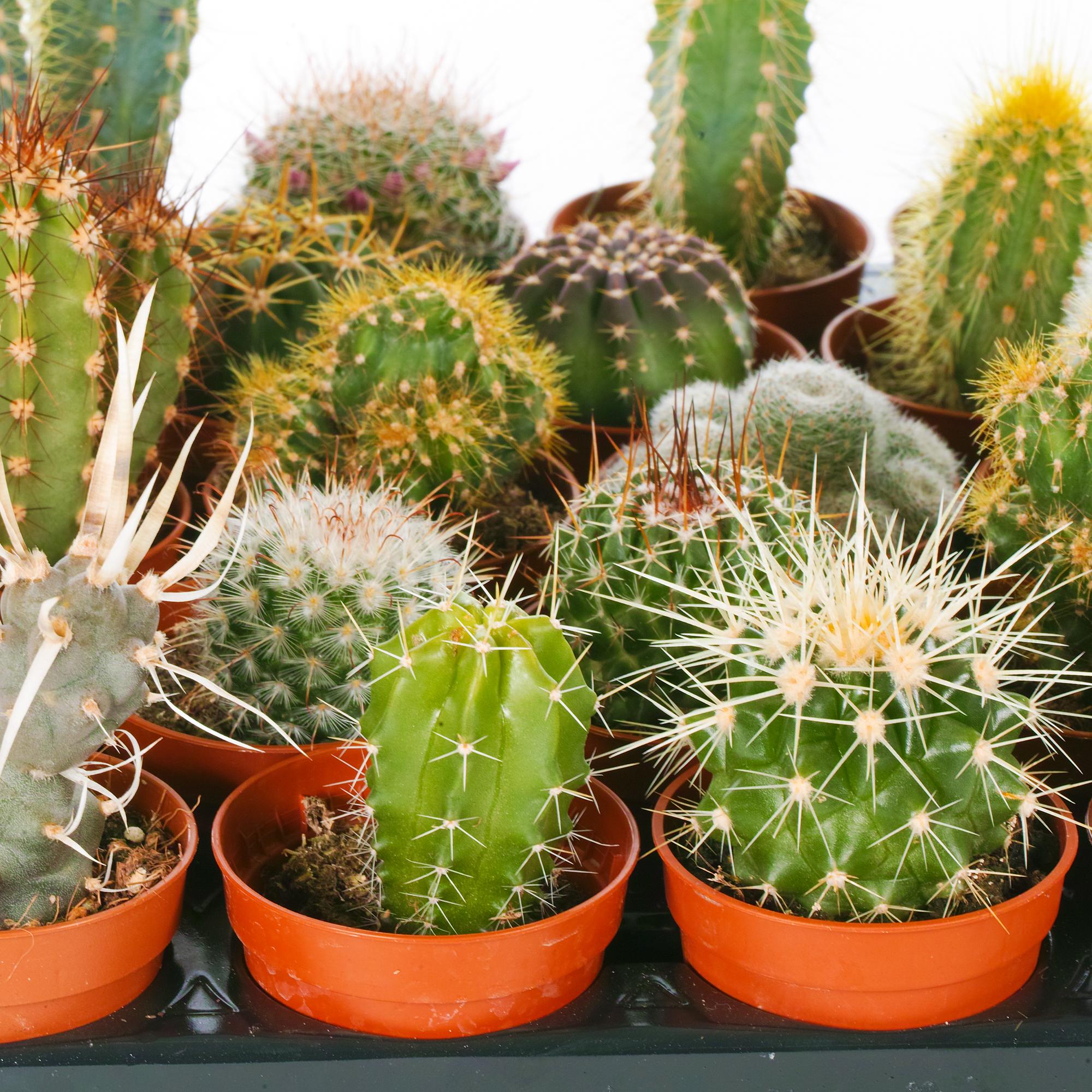 Cactus Mix - 5 Plants - House / Office Live Indoor Pot ...