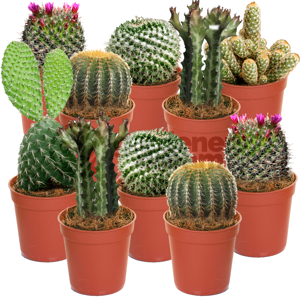 office pot plants. Wonderful Office Cactus Mix  10 Plants House  Office Live Indoor Pot Plant Ideal Gift To N