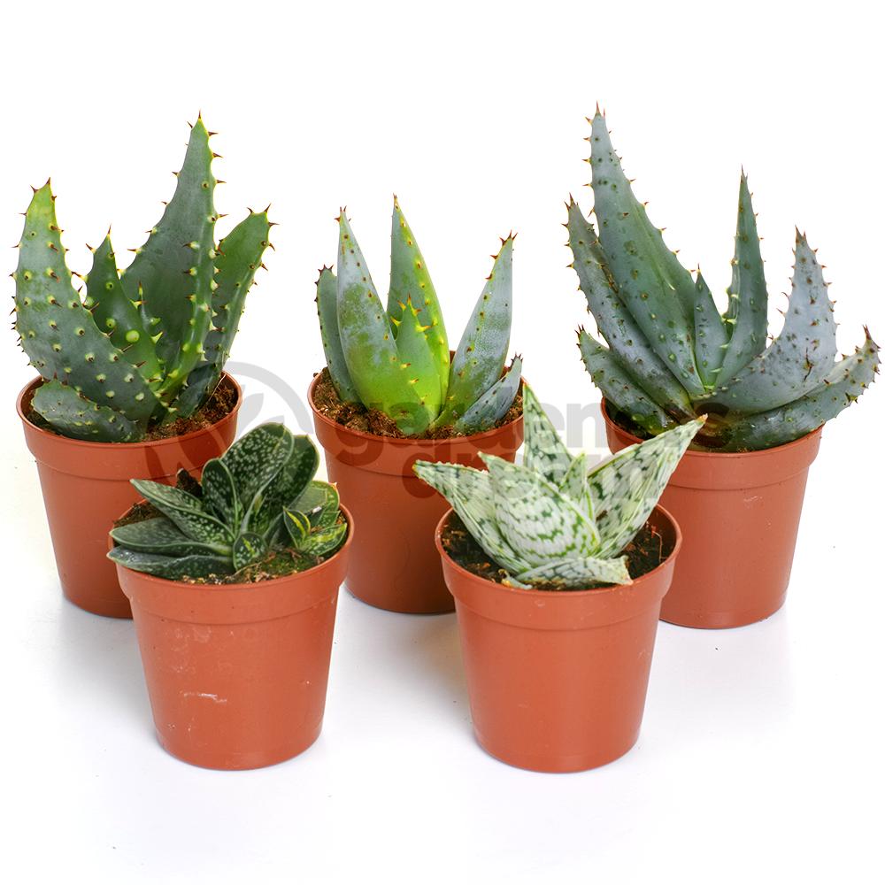 office pot plants. Unique Office Aloe Vera Mix  5 Plants House  Office Live Indoor Pot Plant Ideal Throughout L