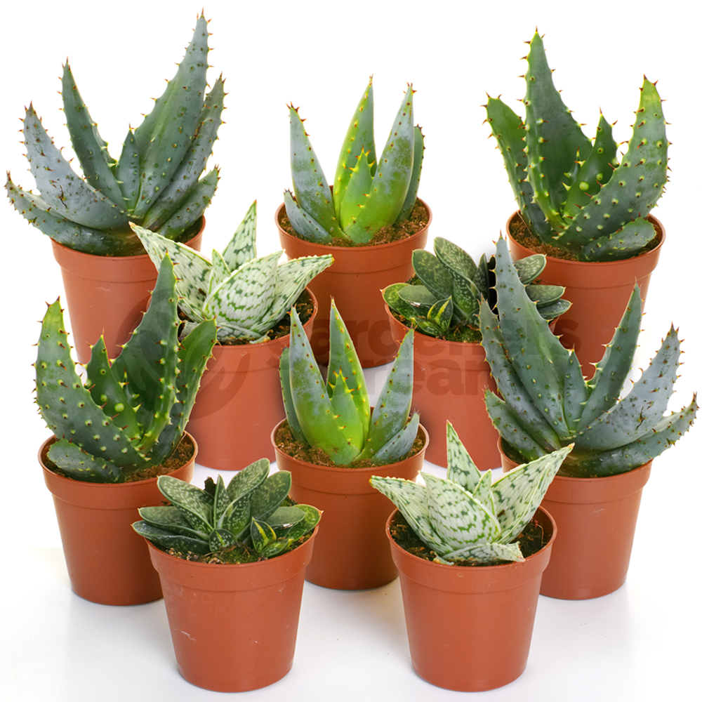 aloe vera mix 10 plants house office live indoor pot plant ideal gift ebay. Black Bedroom Furniture Sets. Home Design Ideas