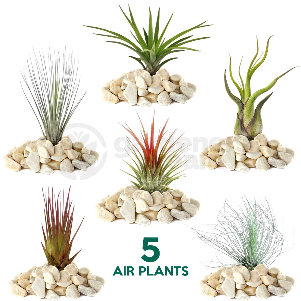 Tillandsia mix 5 plants indoor air plant for house for Air plant planters