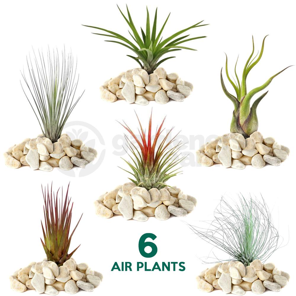 Tillandsia Mix 6 Plants Indoor Air Plant For House Vivarium