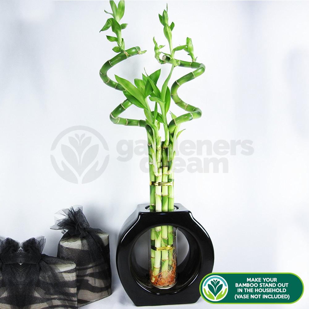 30cm Lucky Bamboo   3 Spiral Stems   Indoor Plant Pot Garden Windowsill Bowl
