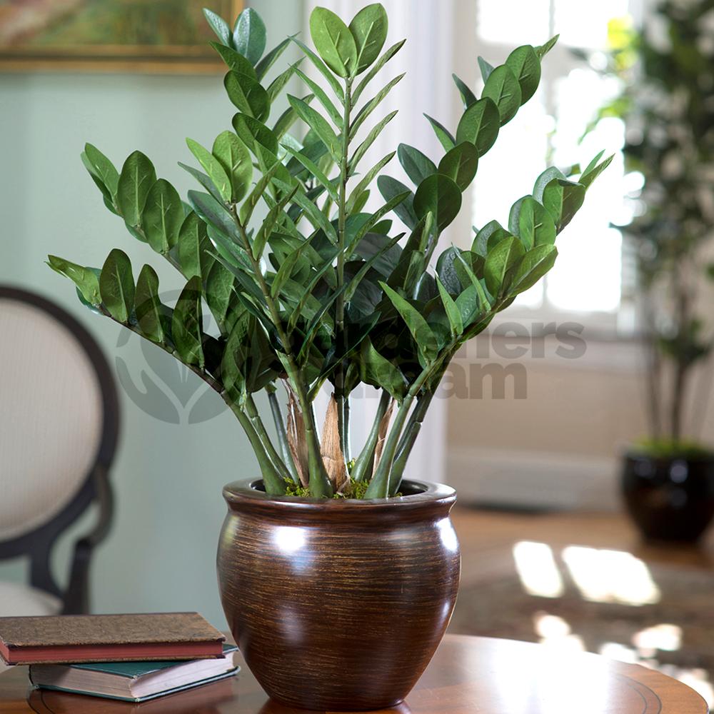 Zamioculca Zamiifolia 1 Plant House Office Live