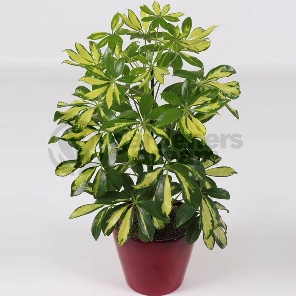 schefflera gerda 1 plant house office live indoor pot plant