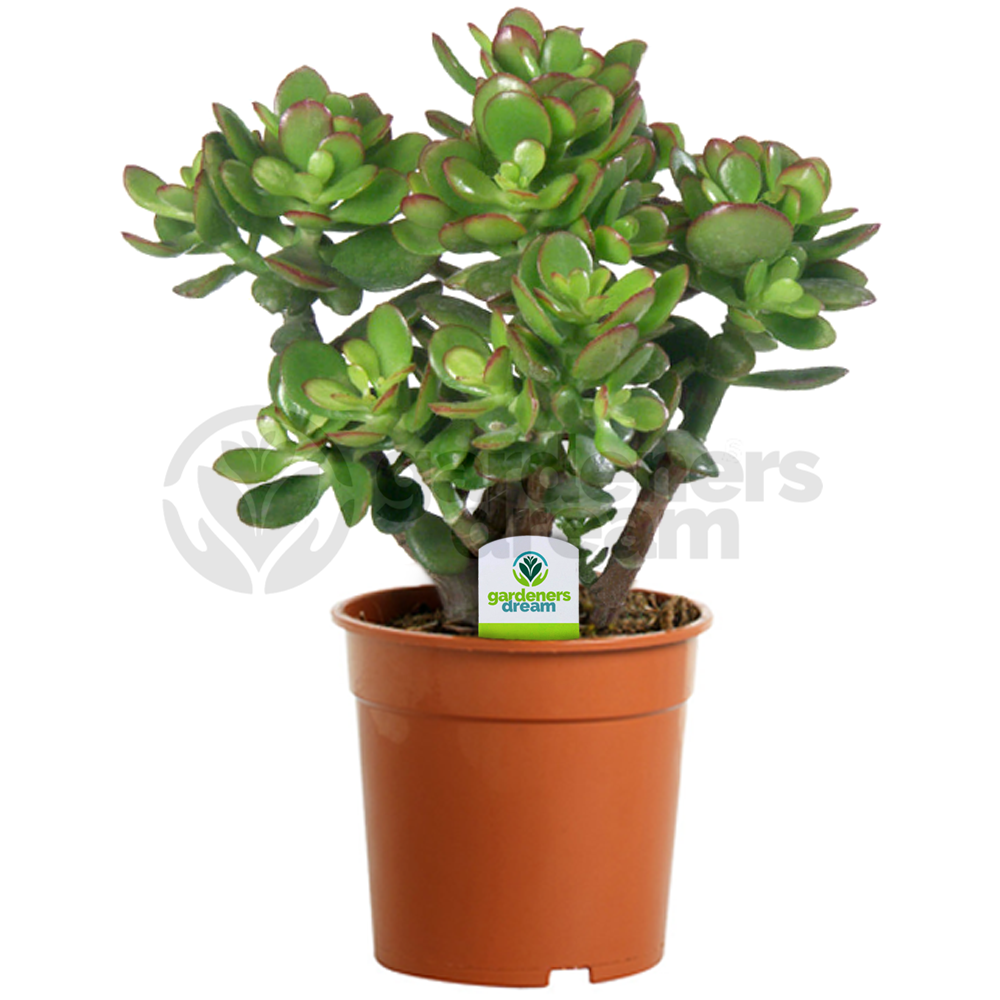 crassula ovata 1 plant house office live indoor pot