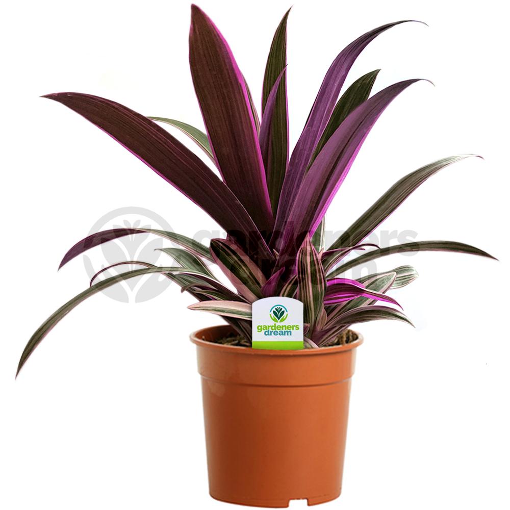 office pot plants. Tradescantia Sitara - 1 Plant House / Office Live Indoor Pot Tree Plants L