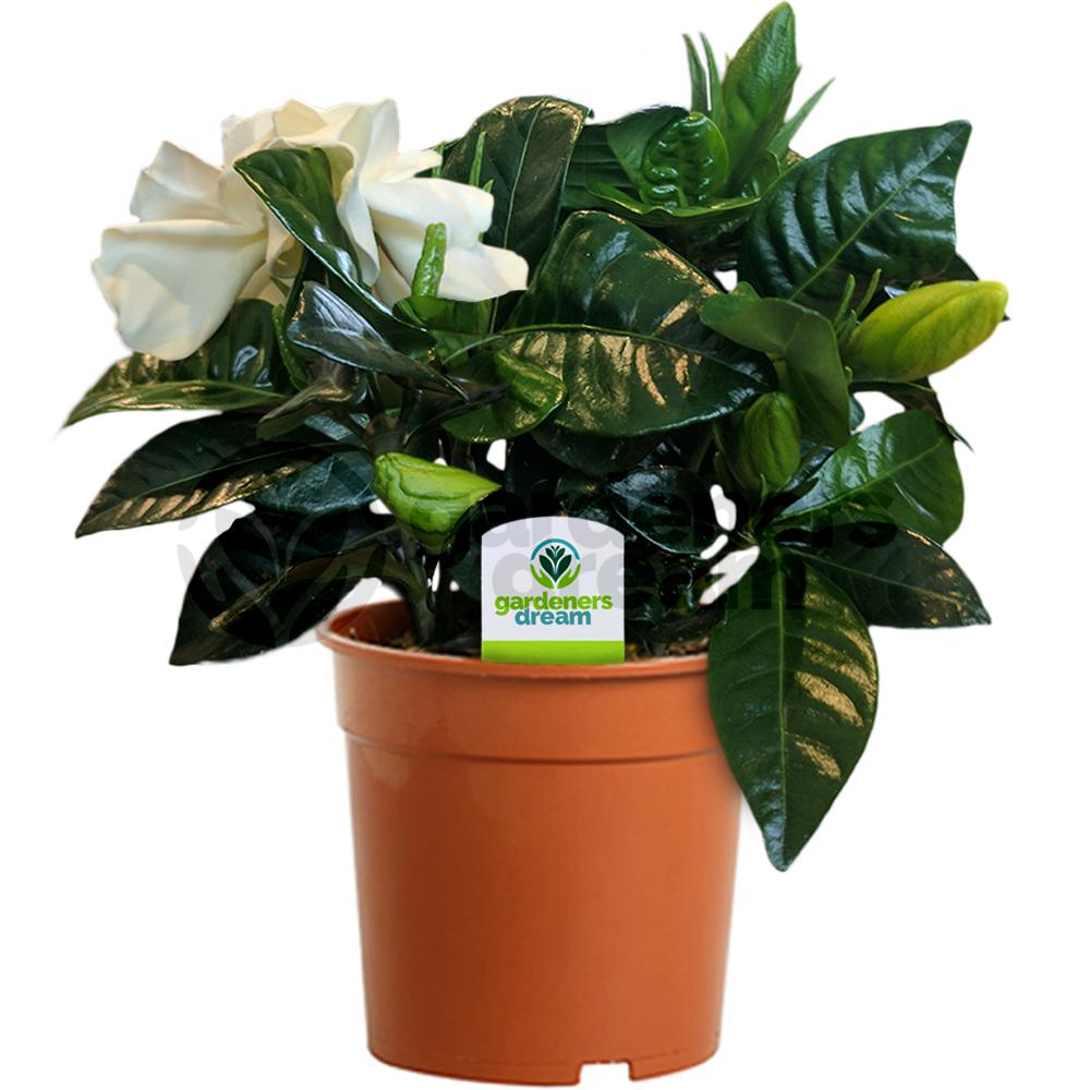 office pot plants. Gardenia Jasminoides - 1 Plant House / Office Live Indoor Pot Tree Plants E