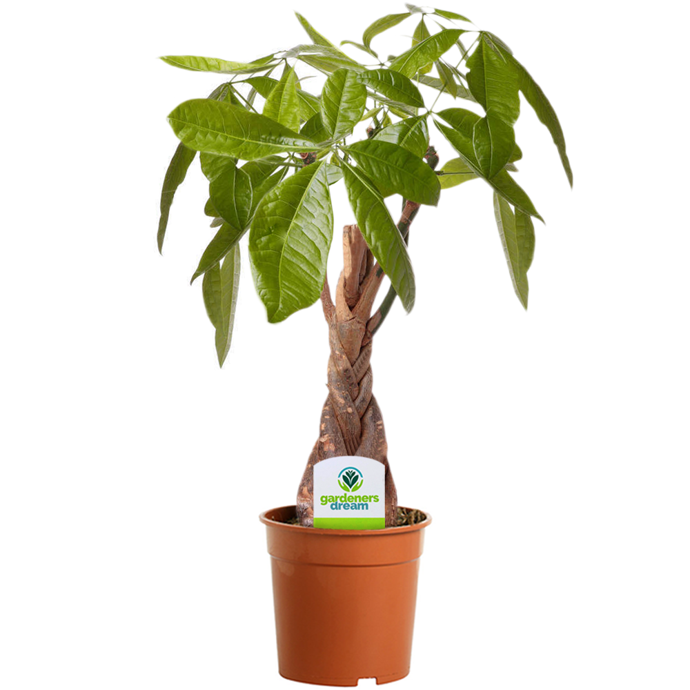 Pachira Aquatica 1 Plant House Office Live Indoor Tree In 12cm Pot