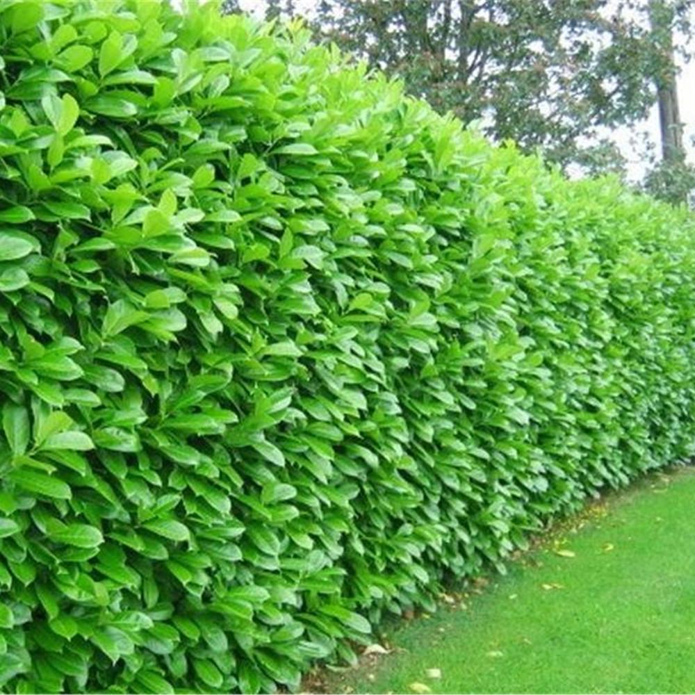 Cherry laurel hedging plants 40 60cm prunus rotundifolia for Plants and shrubs