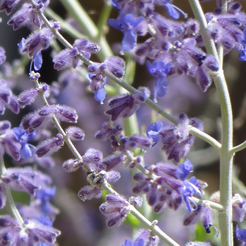 perovskia atriplicifolia blue spire 1 plant live. Black Bedroom Furniture Sets. Home Design Ideas