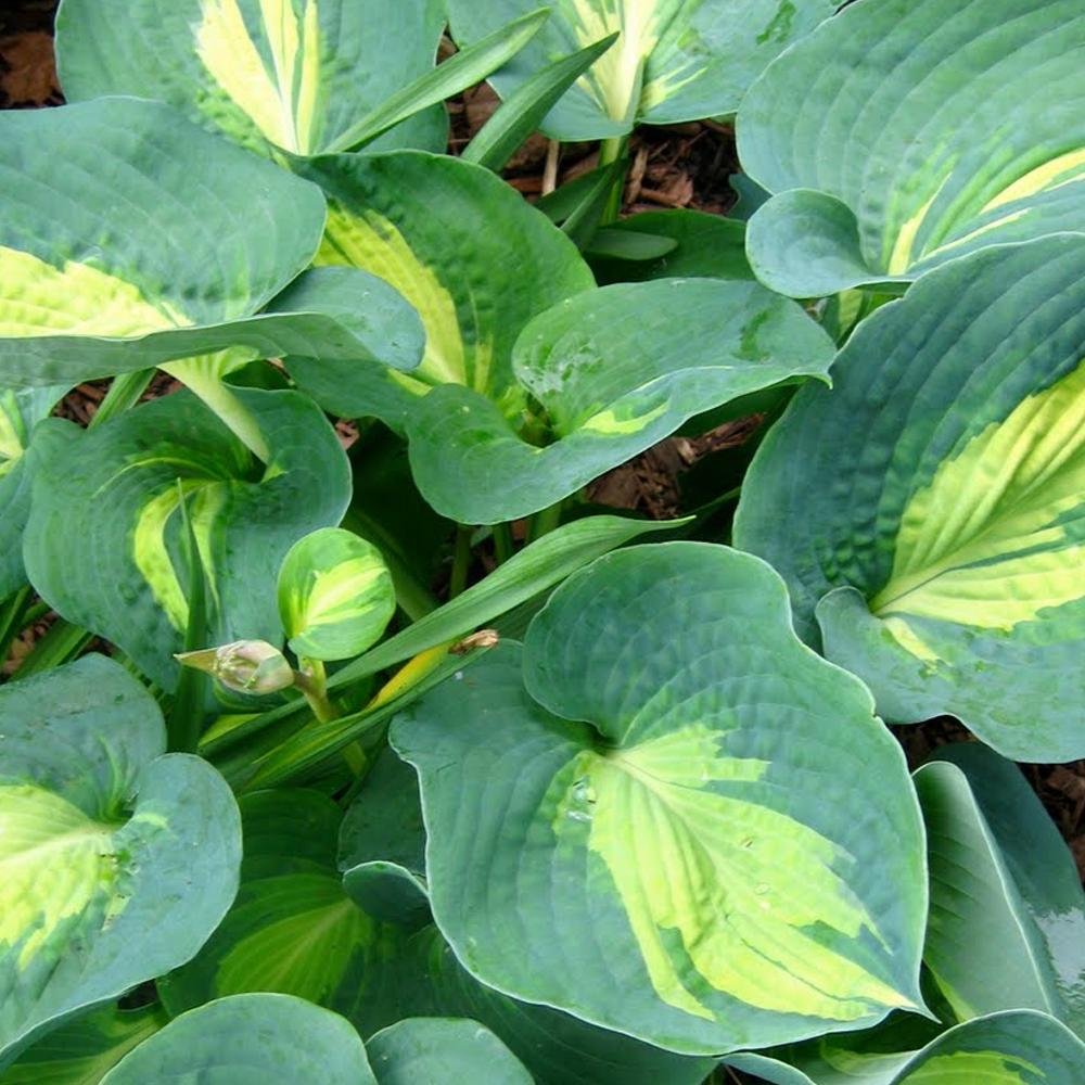 Hosta Dream Queen Herbaceous Perennial Hardy Plant In 9cm Pot Ebay