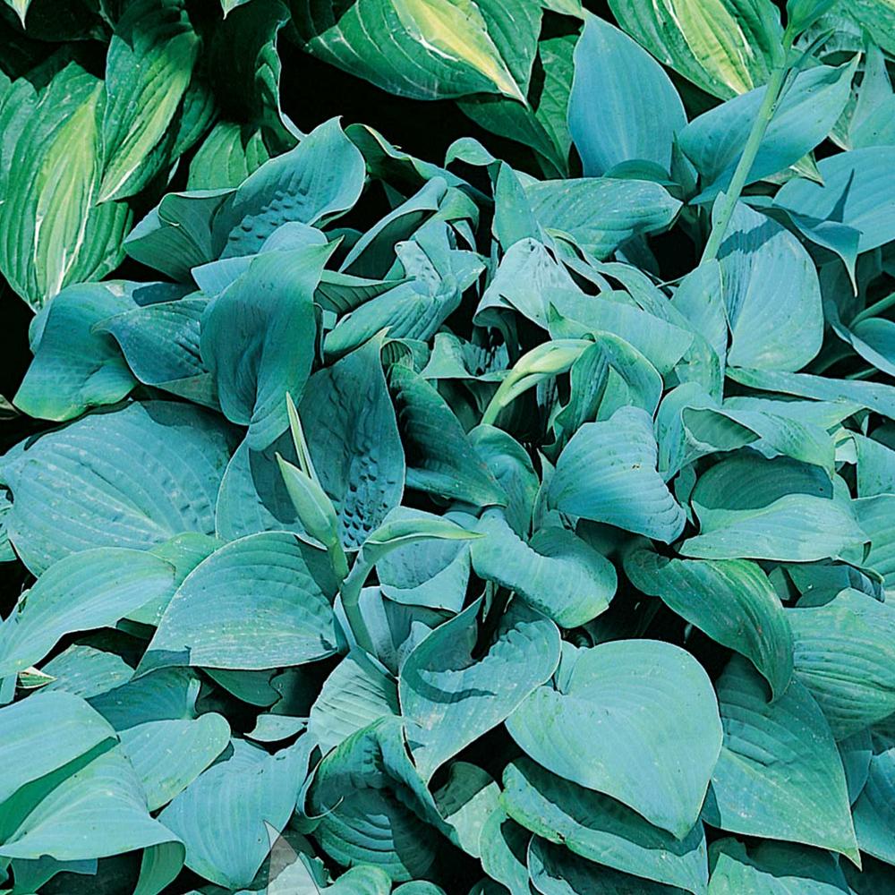 Hosta Fragrant Blue Herbaceous Perennial Hardy Plant In 9cm Pot Ebay