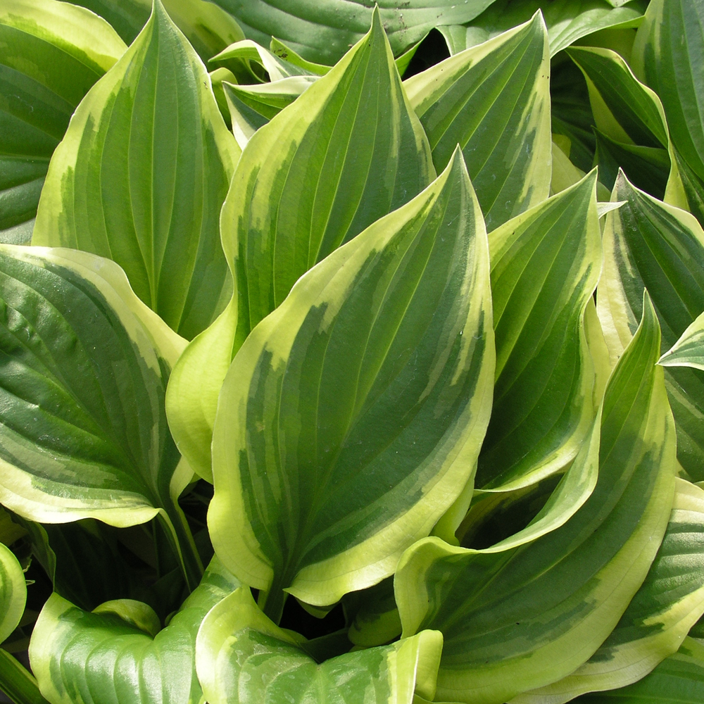Hosta So Sweet Herbaceous Perennial Hardy Plant In 9cm Pot Ebay