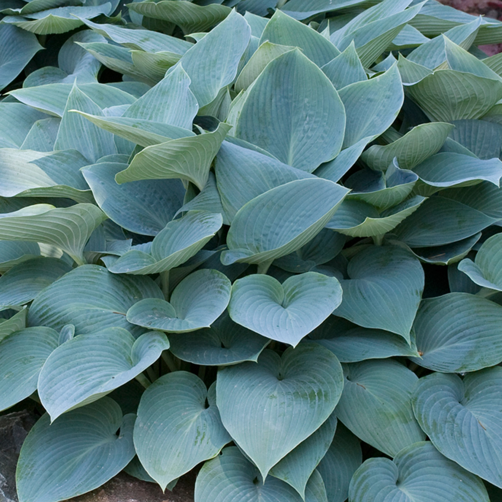 Hosta Halcyon Herbaceous Perennial Hardy Plant In 9cm