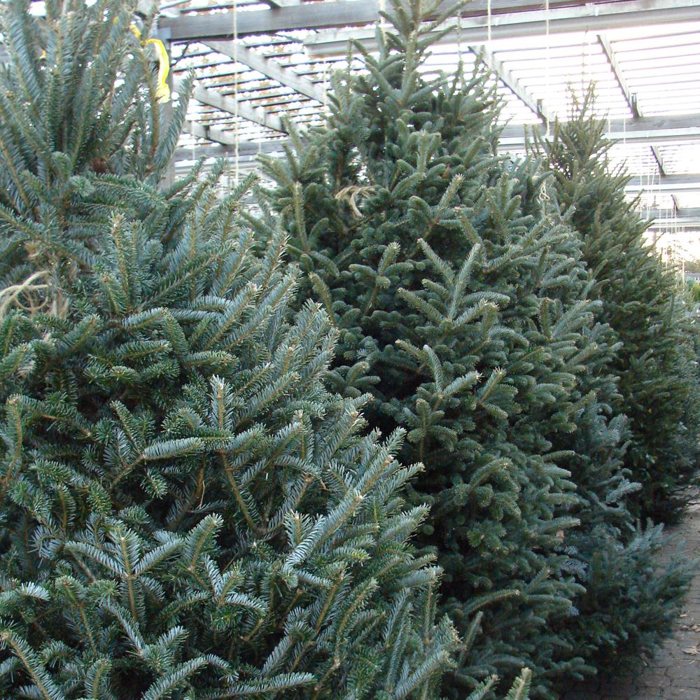 Fraser Fir Pot Grown Christmas Tree - Real Live Fresh Living Potted Plant | eBay