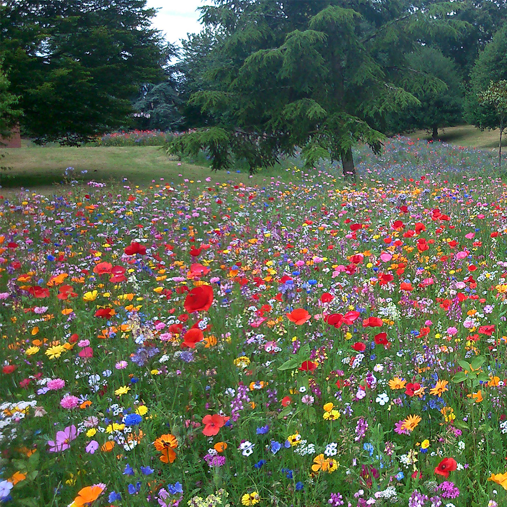 100 Wild Flower Seed Mix Annual Meadow Plants Attracts