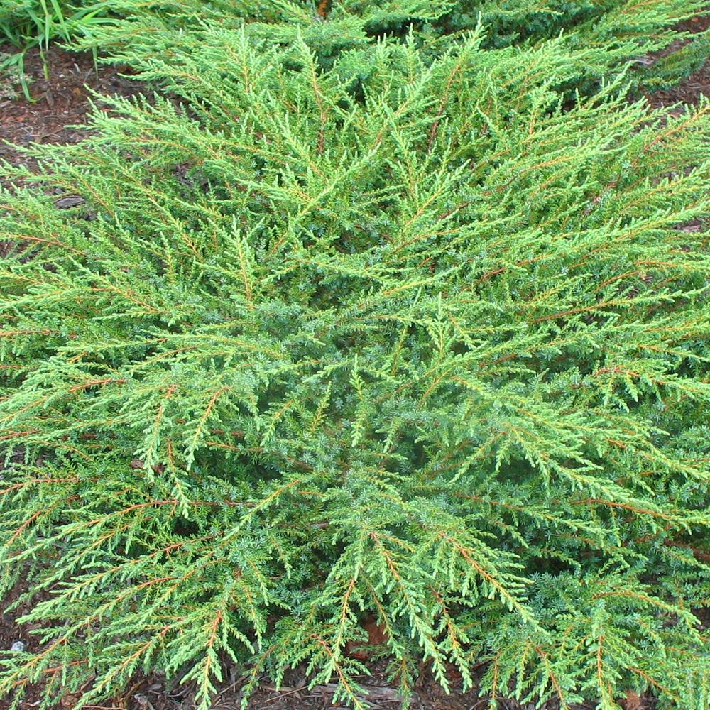 Juniperus Communis Green Carpet Compact Evergreen