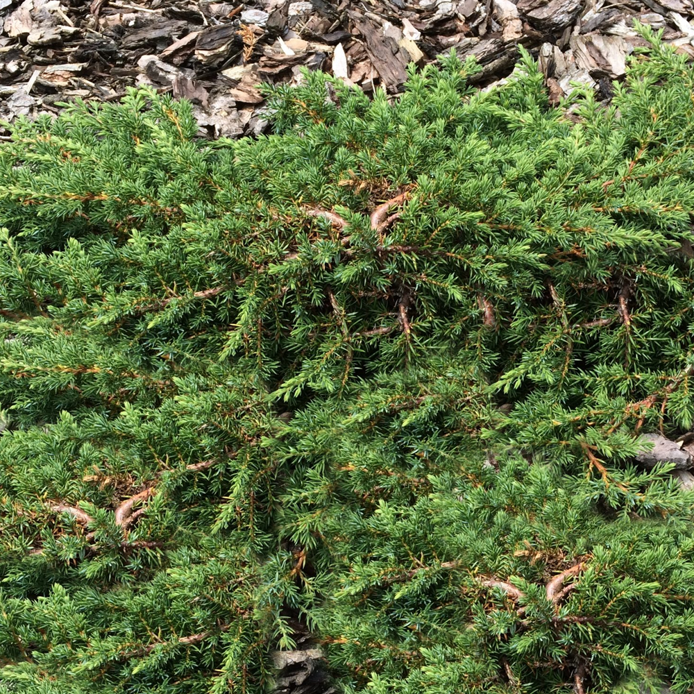 Juniperus Communis 'Green Carpet' Compact Evergreen