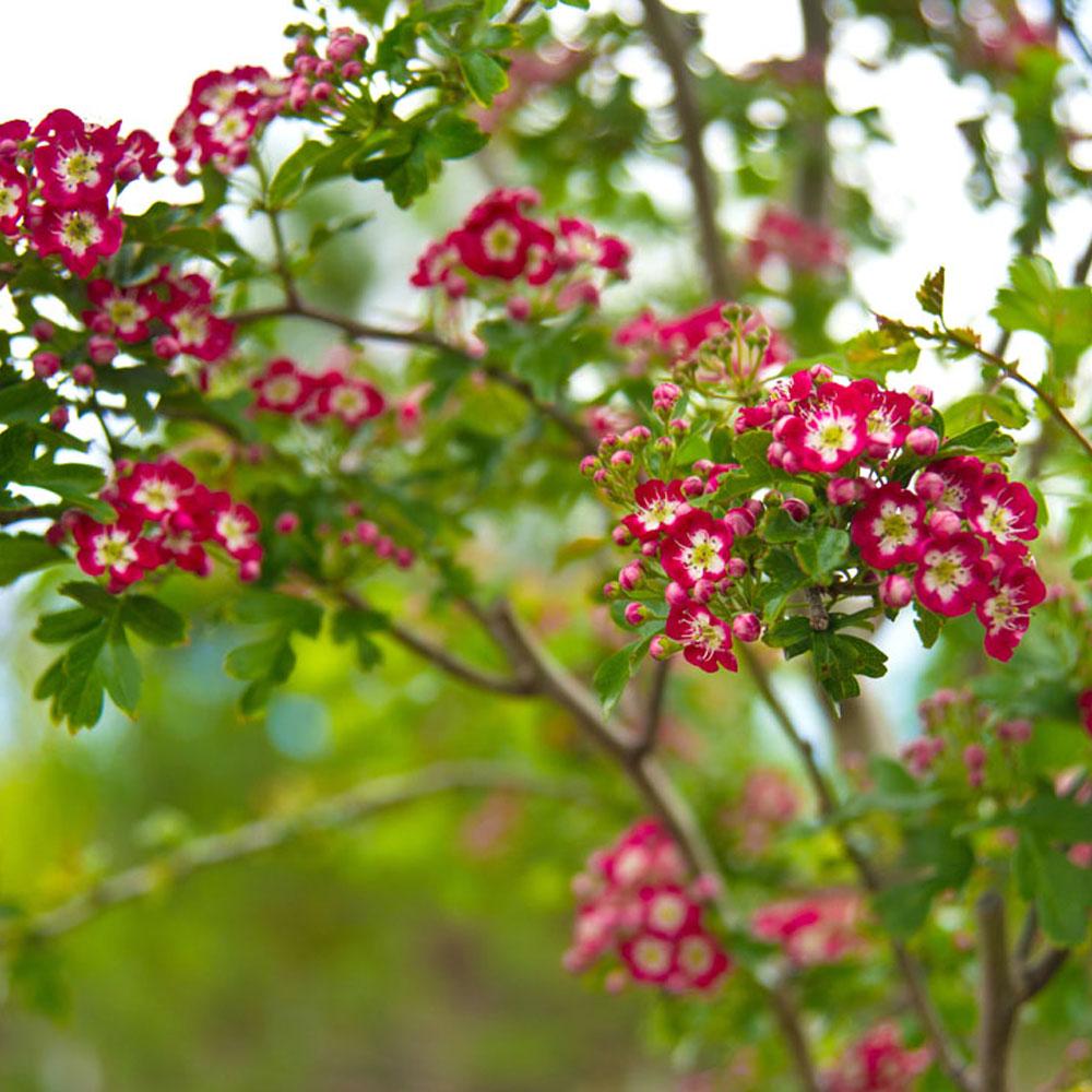 Crataegus Laevigata Crimson Cloud Midland Hawthorn