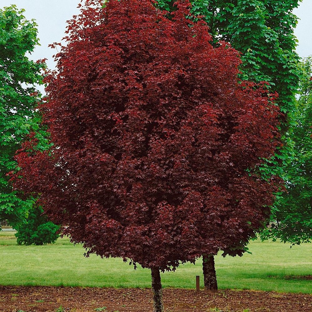 Acer Platanoides Crimson Sentry Purple Norway Maple Garden Tree