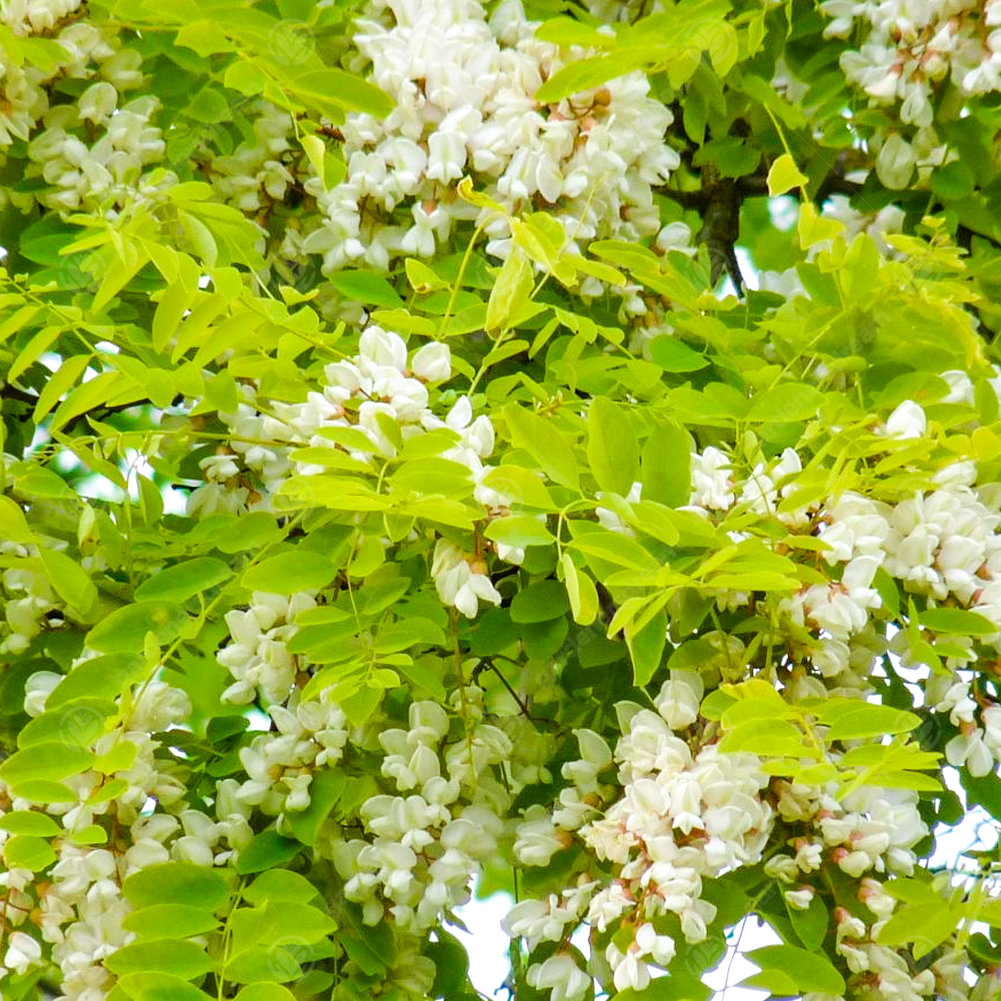 Great For Wildlife Rapid Grower False Acacia Tree Seeds Black Locust Bonsai A2btravel Ge