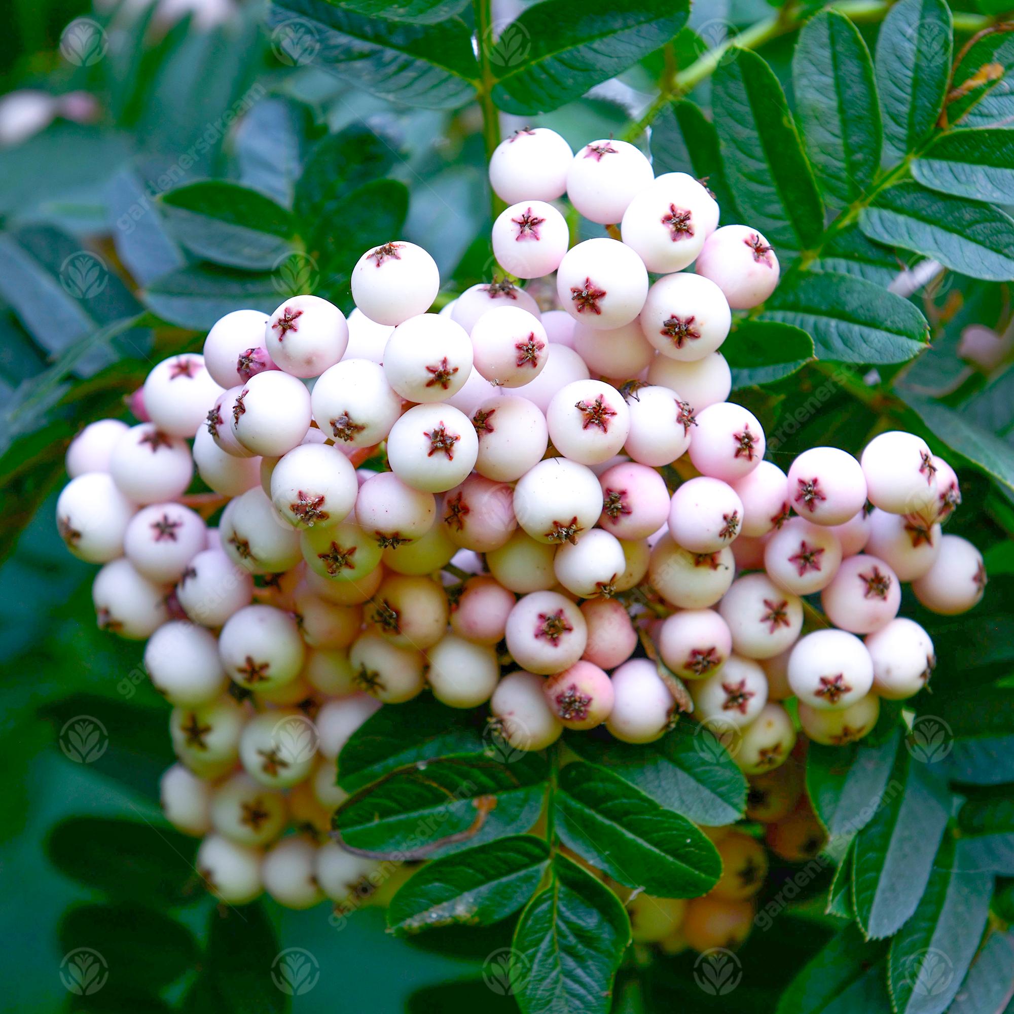 Ornamental Garden Tree Sorbus cashmiriana Kashmir Rowan 5-6ft