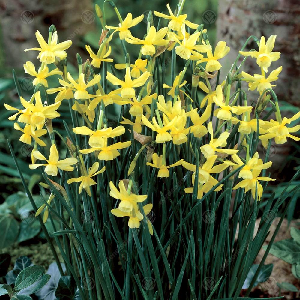 Narcissus Hawera Early Spring Flowering Garden Bulbs Indoor Outdoor