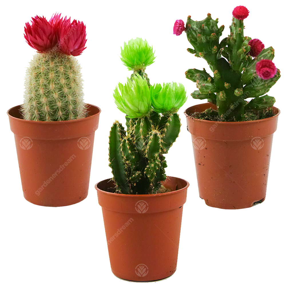Office Indoor 5 5cm Pot Small Gift