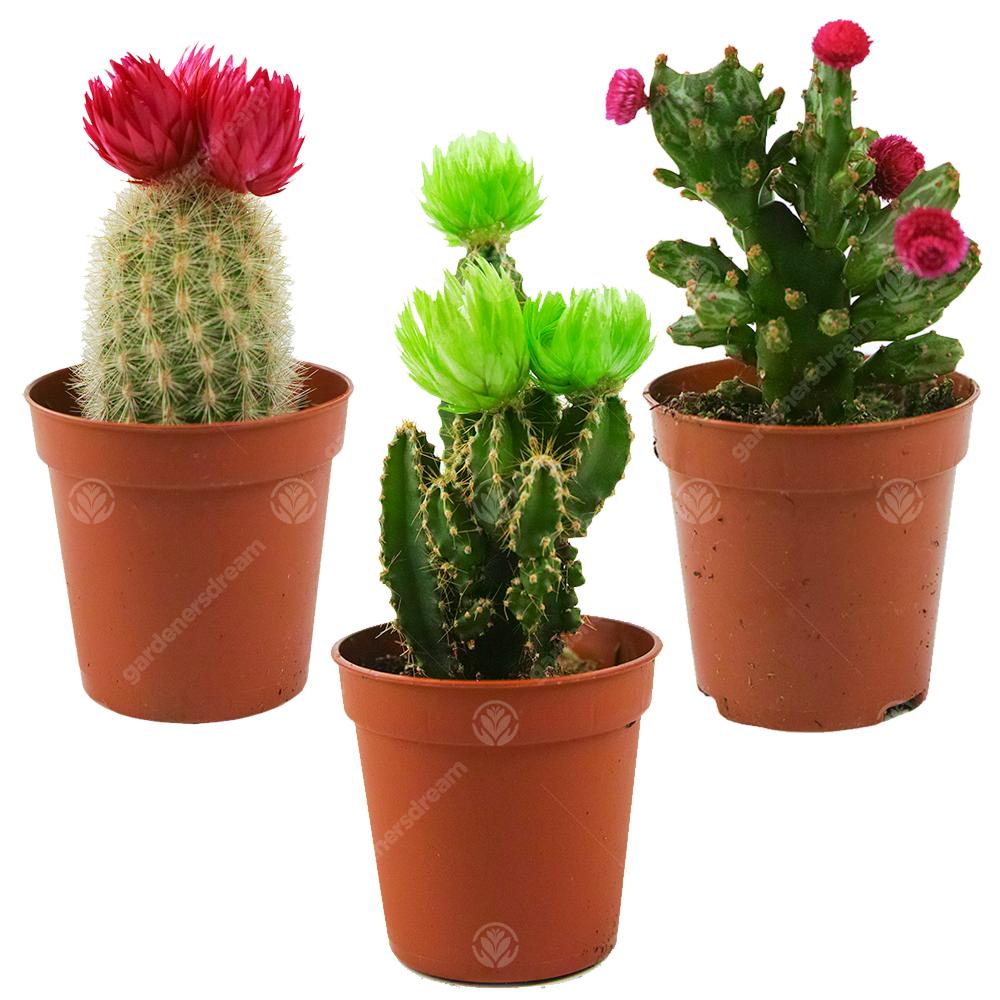 Mini Disco Cactus Mix House / Office Indoor 5.5cm Pot ...