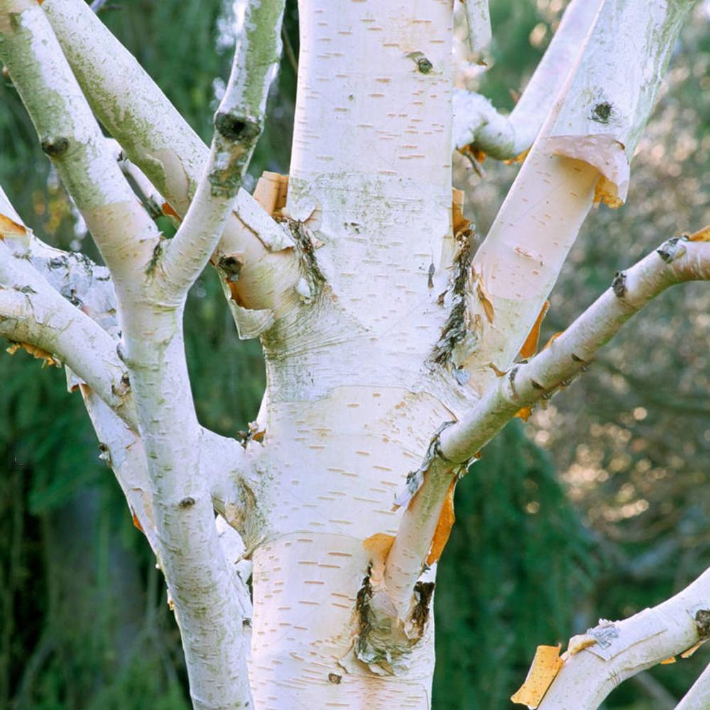 Betula utilis /'Grayswood Ghost/'Himalayan Birch TreeOrnamental Tree5-6ft
