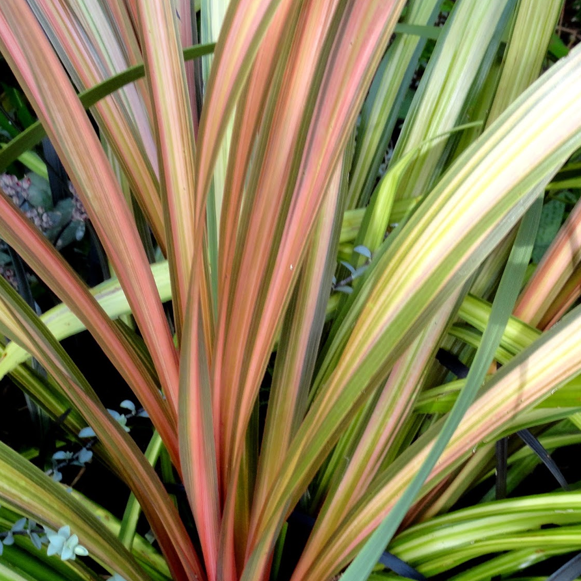 Cordyline Australis Large Plug Plants x 3 Evergreen Shrub Cabbage Palm
