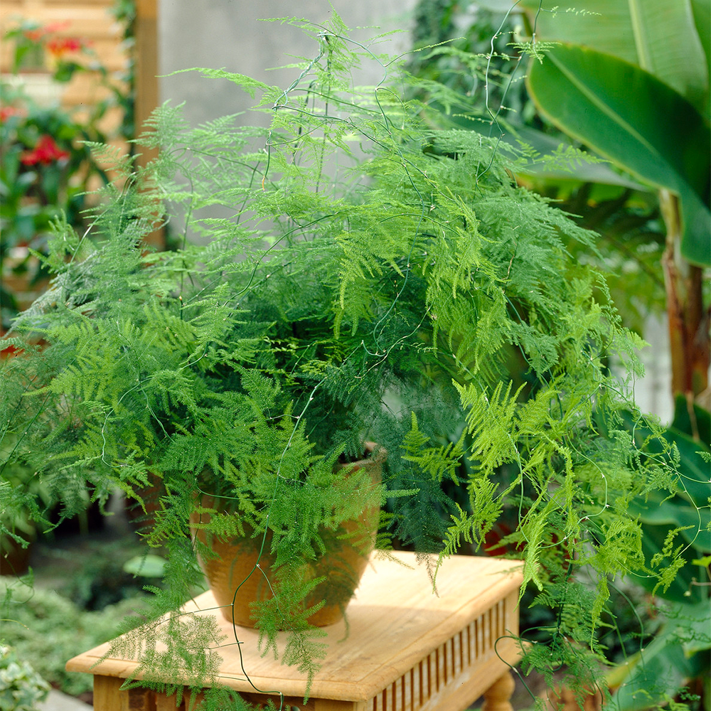 Asparagus Plumosus Indoor Plant 1 X Live Potted Fern Houseplant In 12cm Pot 5051641550848 Ebay